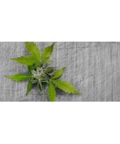 CBD, el componente del cannabis sin efectos psicoactivos